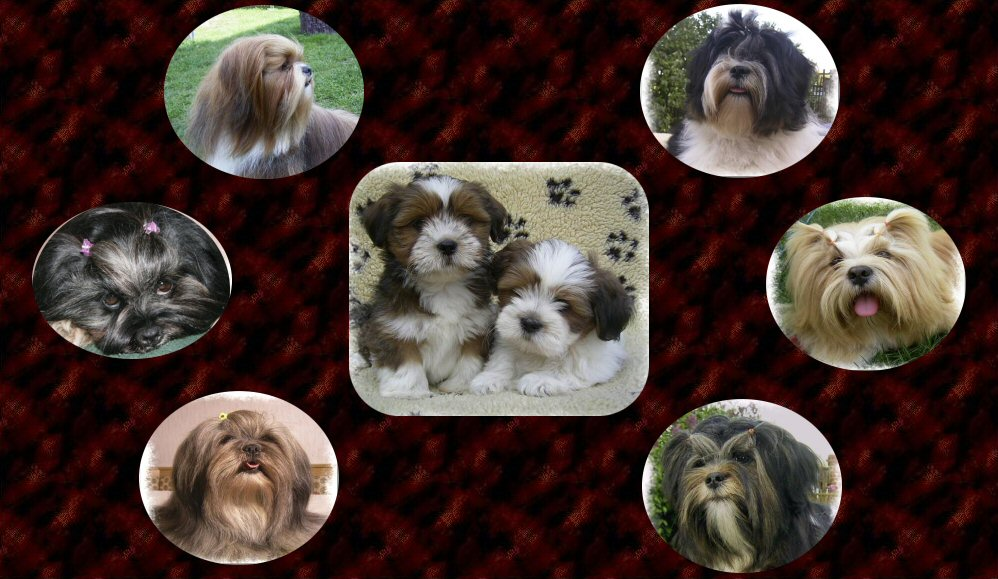 Tibetische Kleinhunde  of the little sweet Lhasa Apso