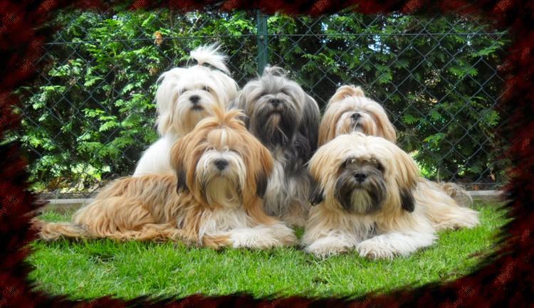 Lhasa Apso Zucht -Tibetische Kleinhunde
