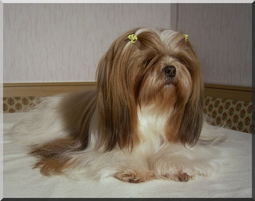 Hupsi of the little sweet Lhasa Apso