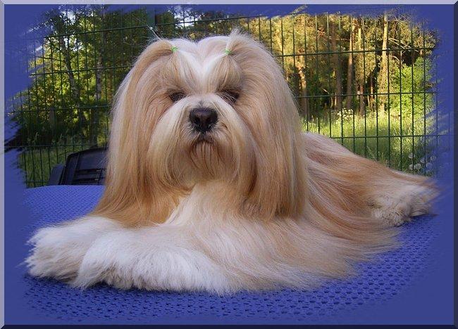 Lhasa Apso Kleinhundezucht, Deckrüde Playboy Perry